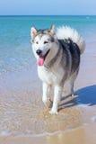 Husky dog beach Stock Images