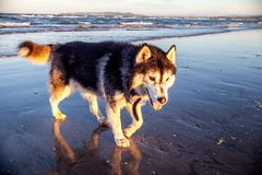 Husky dog on the beach. Husky dog walking on a wet beach with reflection in the sand and the tide going out Stock Image