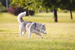 Husky dog. Beautiful siberian husky dog of wolf or german shepherd puppy running in summer park stock images