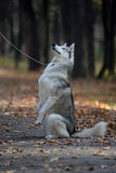 Husky dog begging for a treat sitting on its hind legs. Husky dog begging for encouragement from the owner Royalty Free Stock Photo