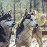 Husky dog Stock Photos