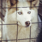 Husky dog behind the cage Royalty Free Stock Photo