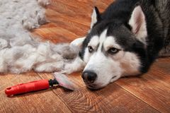 Husky dog and big pile stock image
