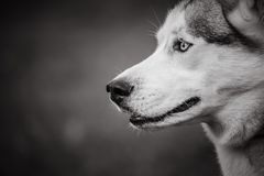 A husky dog in black and white on a blurred artistic background Stock Images