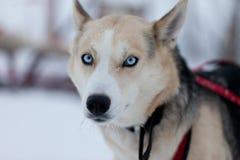 Husky dog with blue eyes. High resolution image of Husky dog sledding in Sweden Royalty Free Stock Photo