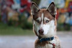 Husky dog Royalty Free Stock Images