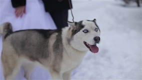 Husky dog stock video