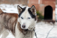 Husky Dog Breed Royalty Free Stock Photos