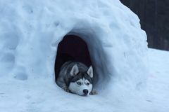 Husky dog breed peeps out of a snow cave, lies and guards the entrance