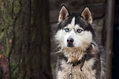 Husky dog breed. Royalty Free Stock Image