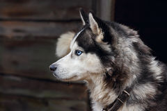 Husky dog breed. Stock Photos