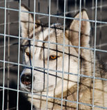 Husky dog in a cage Stock Photo