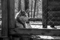 Husky dog in the cage Stock Images