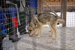 Husky dog in the cage in winter Royalty Free Stock Photo