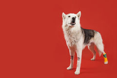Husky Dog in a Cast. Brave husky dog wearing a yellow cast on a red background Royalty Free Stock Image