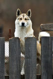 Husky dog on a chain Royalty Free Stock Images