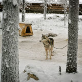 Husky dog on the chain in winter Stock Image