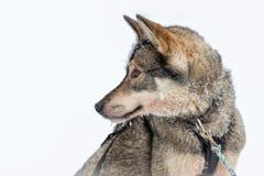 Husky dog close-up, Lapland Finland. Husky dog close-up, Lapland, Finland stock photo