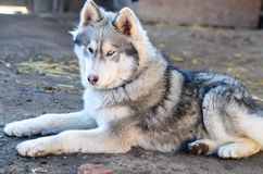 Husky dog Royalty Free Stock Photo