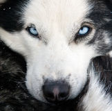 Husky dog closeup Stock Photos
