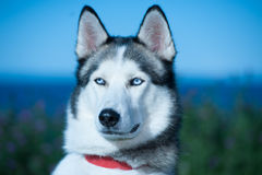 Husky dog closeup Stock Images
