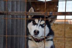 Husky dog con differenti occhi husky in bianco e nero - Husky con occhi diversi ...