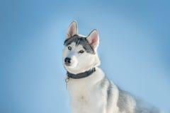 Husky dog curious face on blue sky background Royalty Free Stock Photography