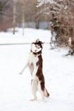 Husky dog dancing Stock Images
