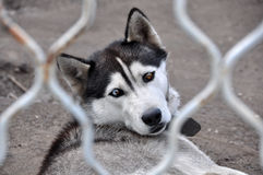 Husky dog with different colored eyes Royalty Free Stock Photo