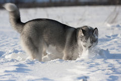 Husky dog digs in snow Stock Photos