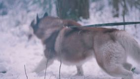 Husky dog. Dog Husky Forest Winter walk stock video
