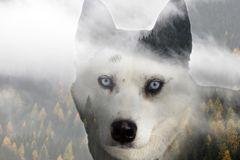 Husky dog. Double exposure image of a Siberian husky dog and a snowy pine forest stock images