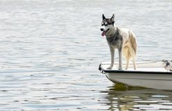 THE DOG ON THE LITTLE BOAT. The husky dog enjoy on the top of the little boat stock photos
