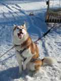Husky dog enjoy winter sunny day. Husky dog with sled smiling, sitting in the snow Stock Photo