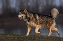 Husky dog. Exiting water, splashes Royalty Free Stock Image