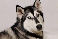 Husky Dog féminin magnifique sur le blanc Photographie stock libre de droits