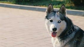 Husky Dog Face Closeup hermoso con Heterochromy - ojos con diverso color almacen de video