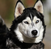 Husky Dog Face Stock Image