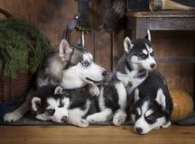 Husky dog family Royalty Free Stock Photo