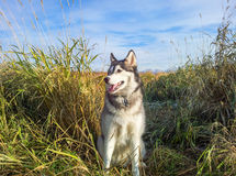 Husky Dog in Field Anchorage Alaska Stock Image