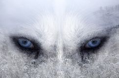 Husky dog an the forest. Double exposure image of a Siberian husky dog and a snowy pine forest royalty free stock image