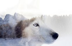 Husky dog an the forest. Double exposure image of a Siberian husky dog and a snowy pine forest stock photo