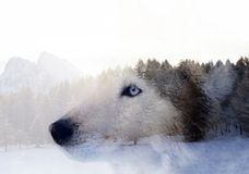 Husky dog an the forest. Double exposure image of a Siberian husky dog and a snowy pine forest stock image