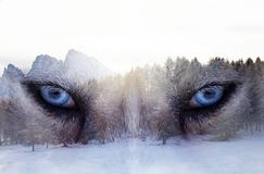 Husky dog an the forest. Double exposure image of a Siberian husky dog and a snowy pine forest royalty free stock images