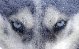 Husky dog an the forest stock image