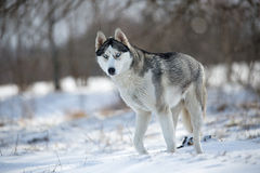 Husky dog in forest Stock Photography