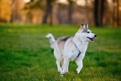 Husky dog frolic in a summer park Stock Photos
