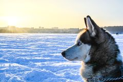 The husky dog in front of sunset Royalty Free Stock Photo