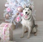 Husky dog gives a gift for Christmas Stock Photo