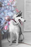 Husky dog gives a gift for Christmas Royalty Free Stock Photography